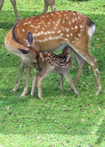 特別公開「子鹿公開 ~赤ちゃん鹿大集合!」入場チケット付きプラン